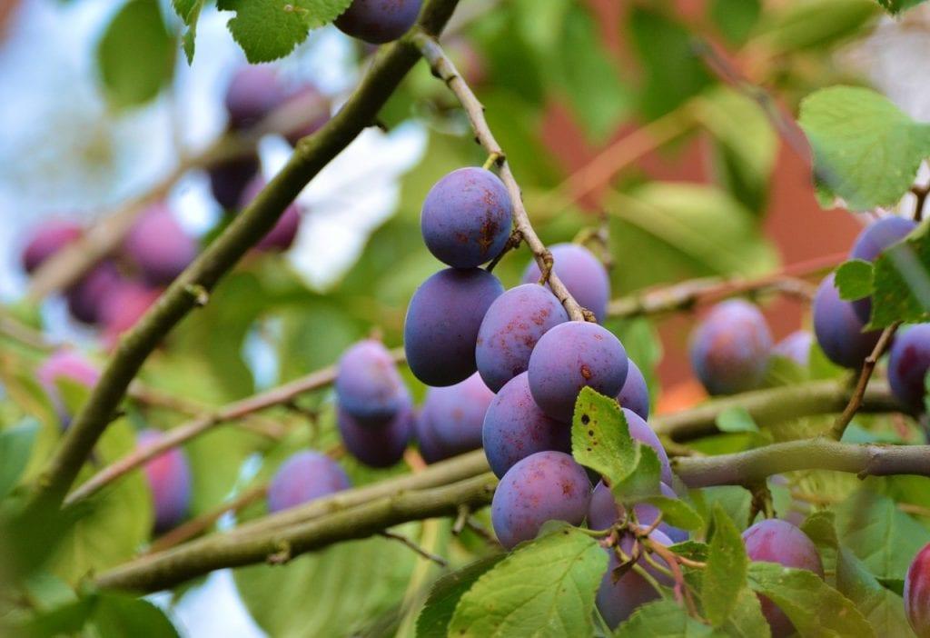 Cu ndo se podan los ciruelos - Cuando se plantan los arboles frutales ...