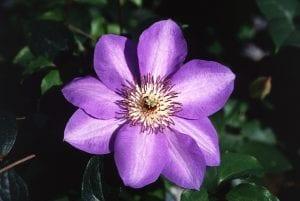 Clematis en flor
