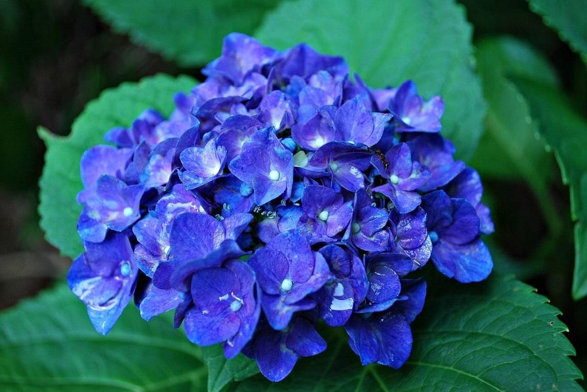 Es posible conseguir hortensias azules con unos cuidados especiales