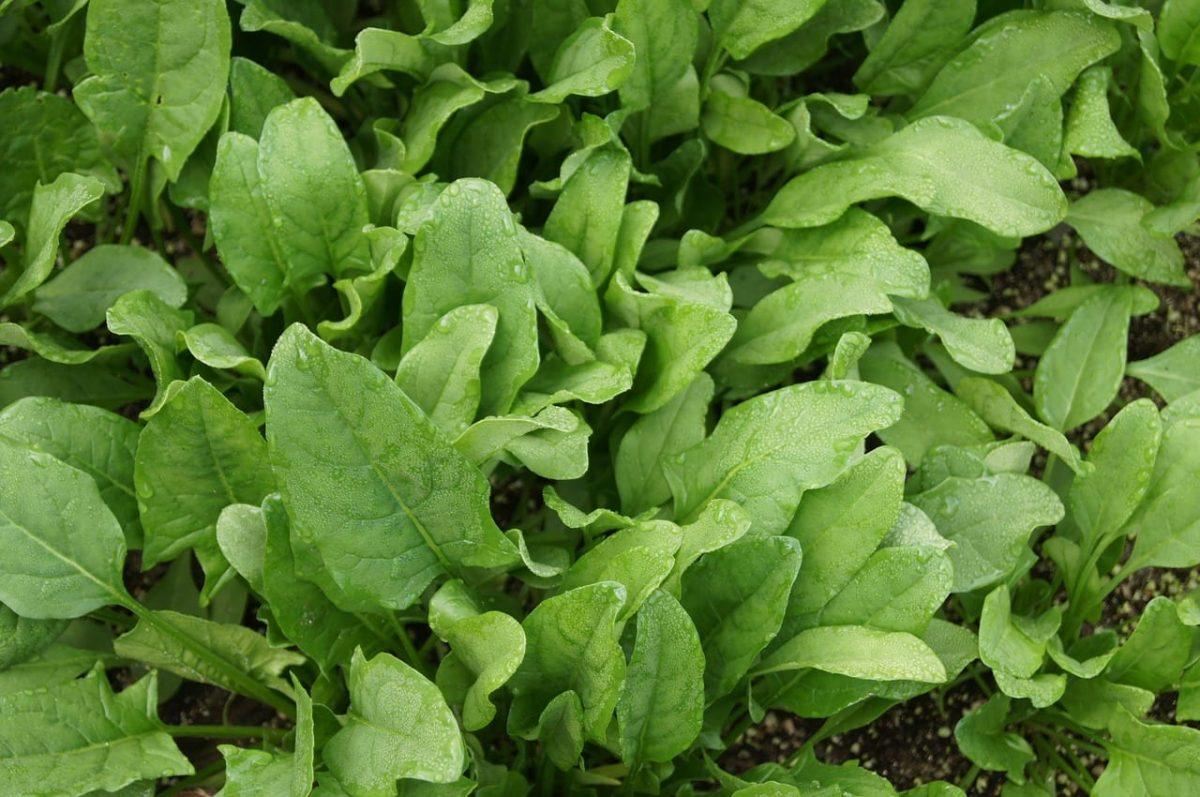 Espinacas, unas hierbas que se pueden cultivar en maceta