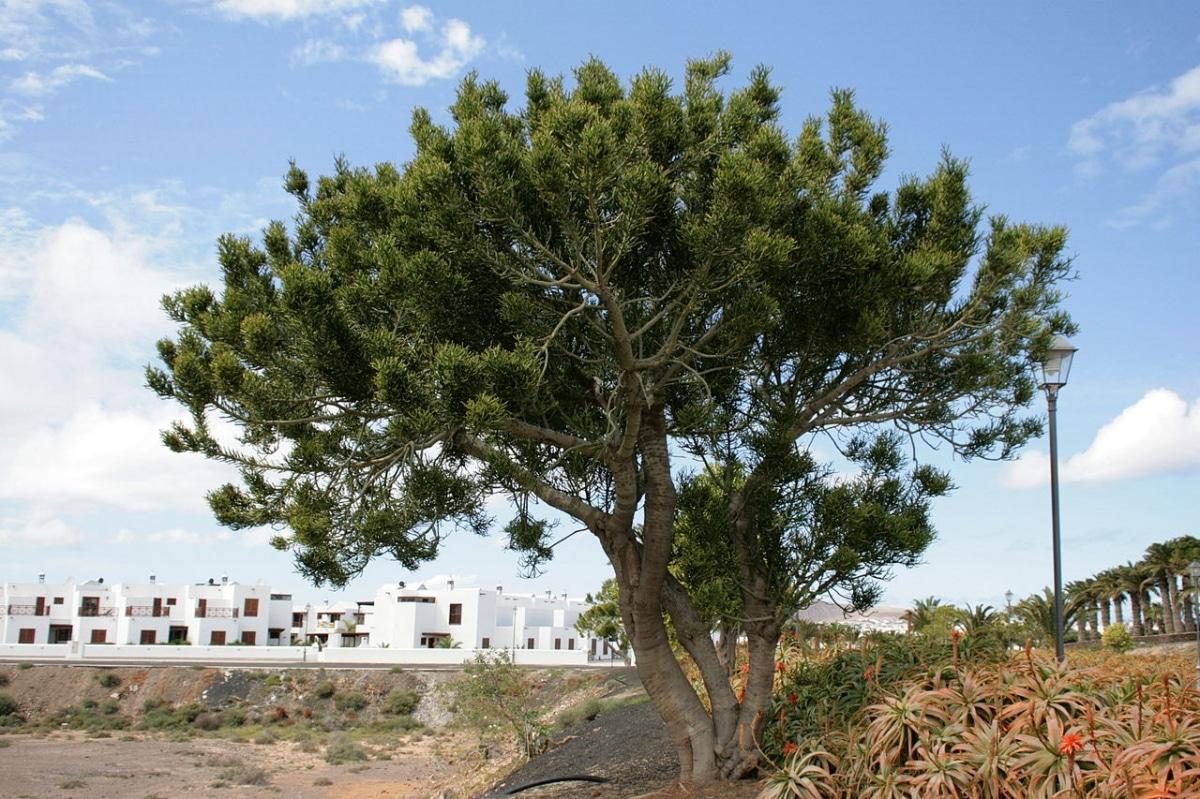El árbol de los dedos es un árbol suculento