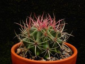 Ferocactus stainesii var. pilosus