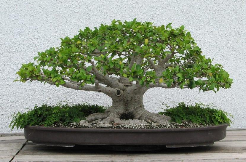 Bonsái de Ficus microcarpa, uno de los más fáciles de cuidar