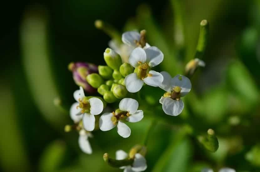 Flores de los berros