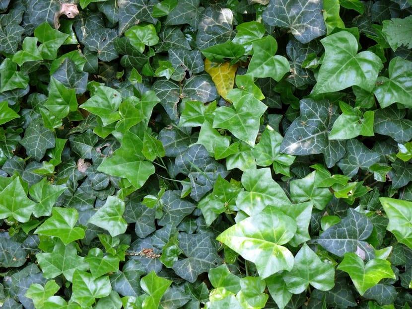 Tipos de trepadoras for Plantas trepadoras para muros