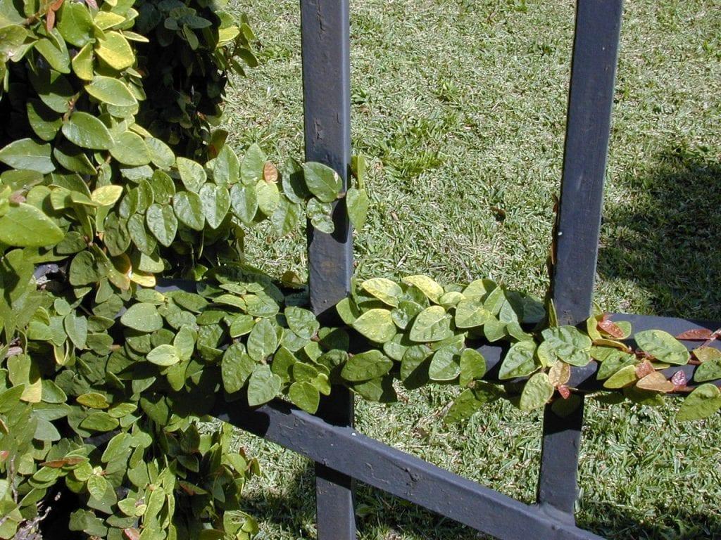 Hojas de Ficus pumila