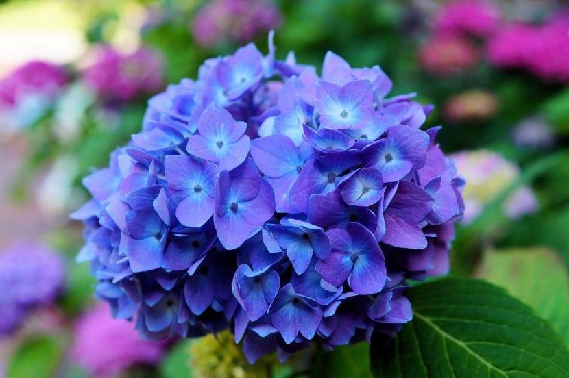 Hortensia de flor azul