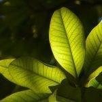Los árboles de hoja perenne son plantas siempreverdes, como la Magnolia grandiflora