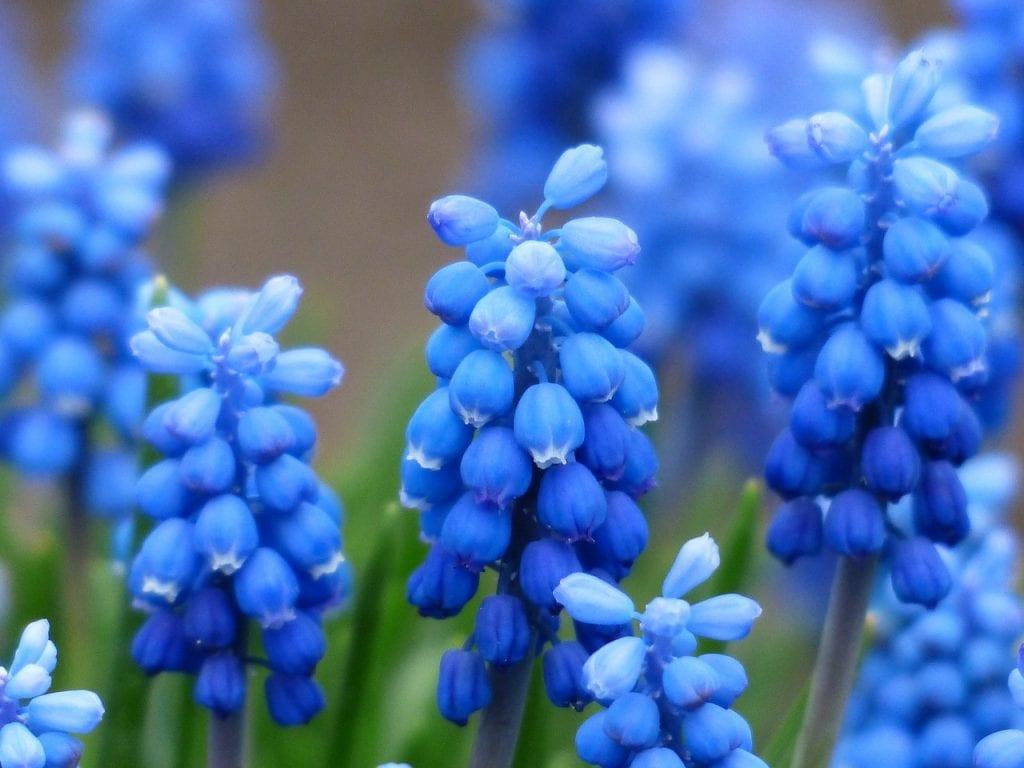 Muscari en flor