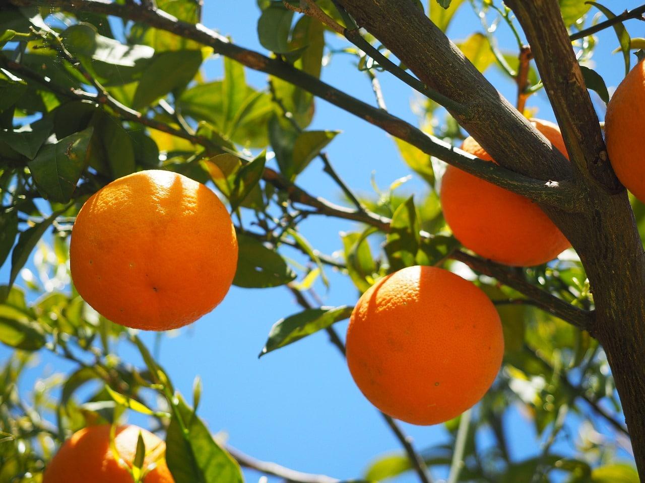 Los naranjos son árboles de hoja perenne