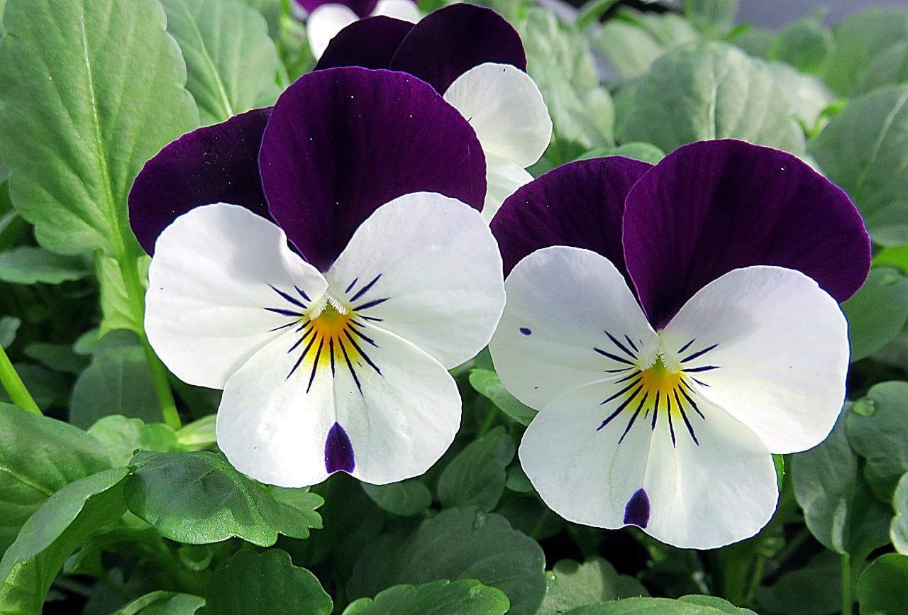Pensamiento en flor