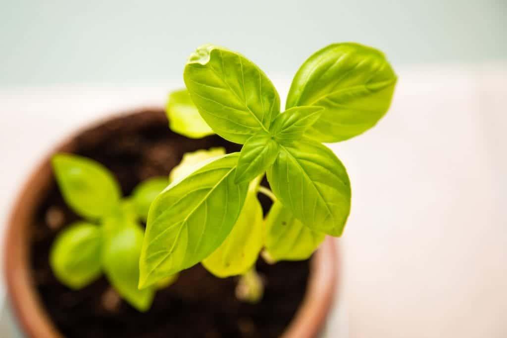 Cultiva tu albahaca en maceta con turba