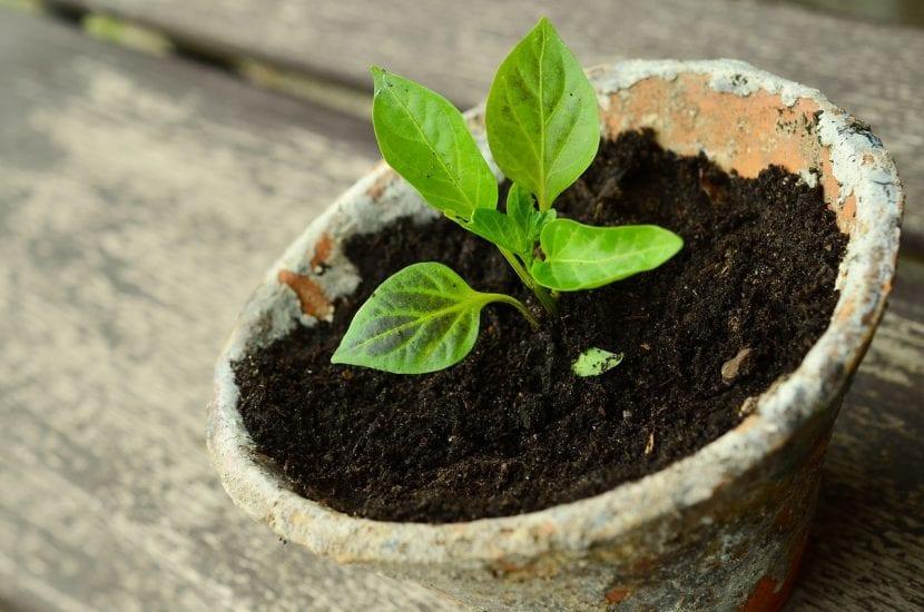 Planta joven en recipiente