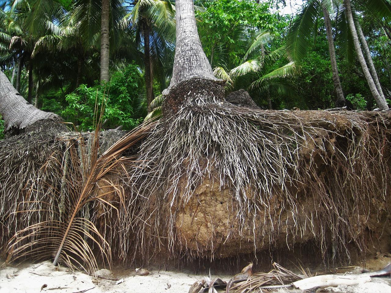 Las raíces de las palmeras son adventicias