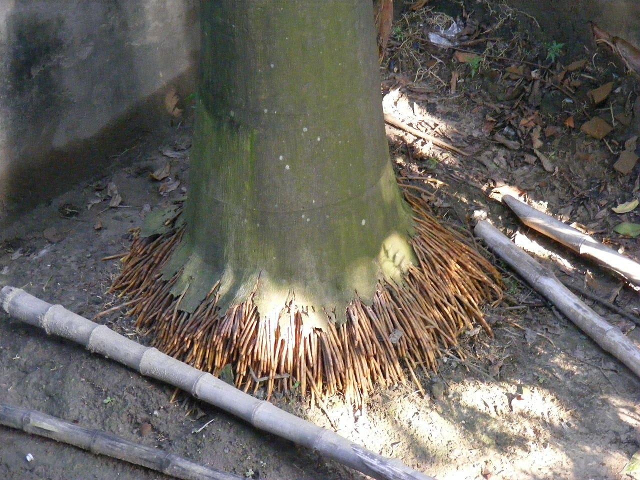 Las raíces de las palmeras nacen de un mismo punto
