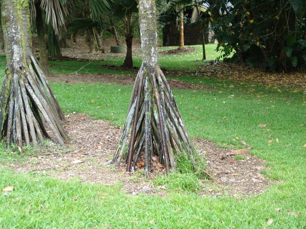 Ráices de la palmera Verschaffeltia