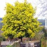 Ejemplar de Acacia dealbata en flor