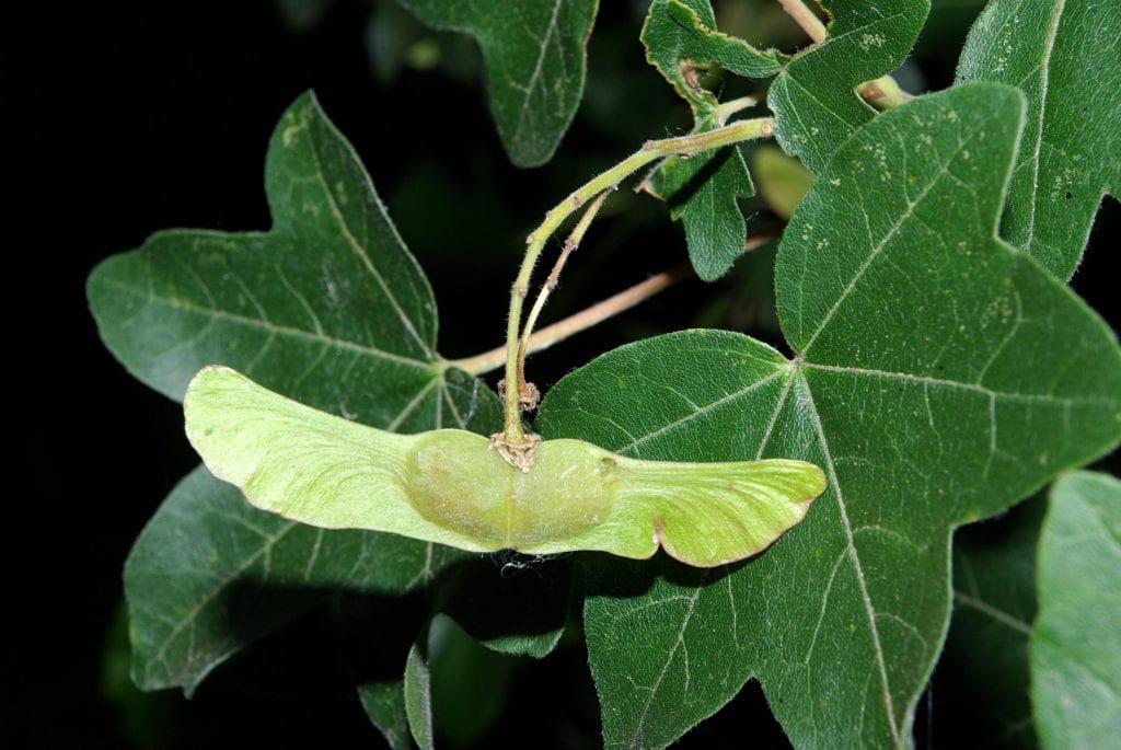 Semillas de Acer campestre
