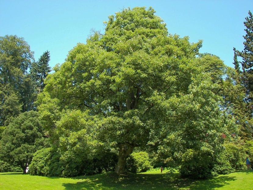 Ejemplar adulto del Acer pseudoplatanus