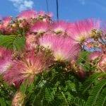 Vista de las preciosas flores de la Albizia