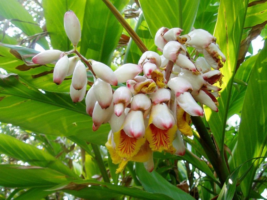 Alpinia zerumbet en flor
