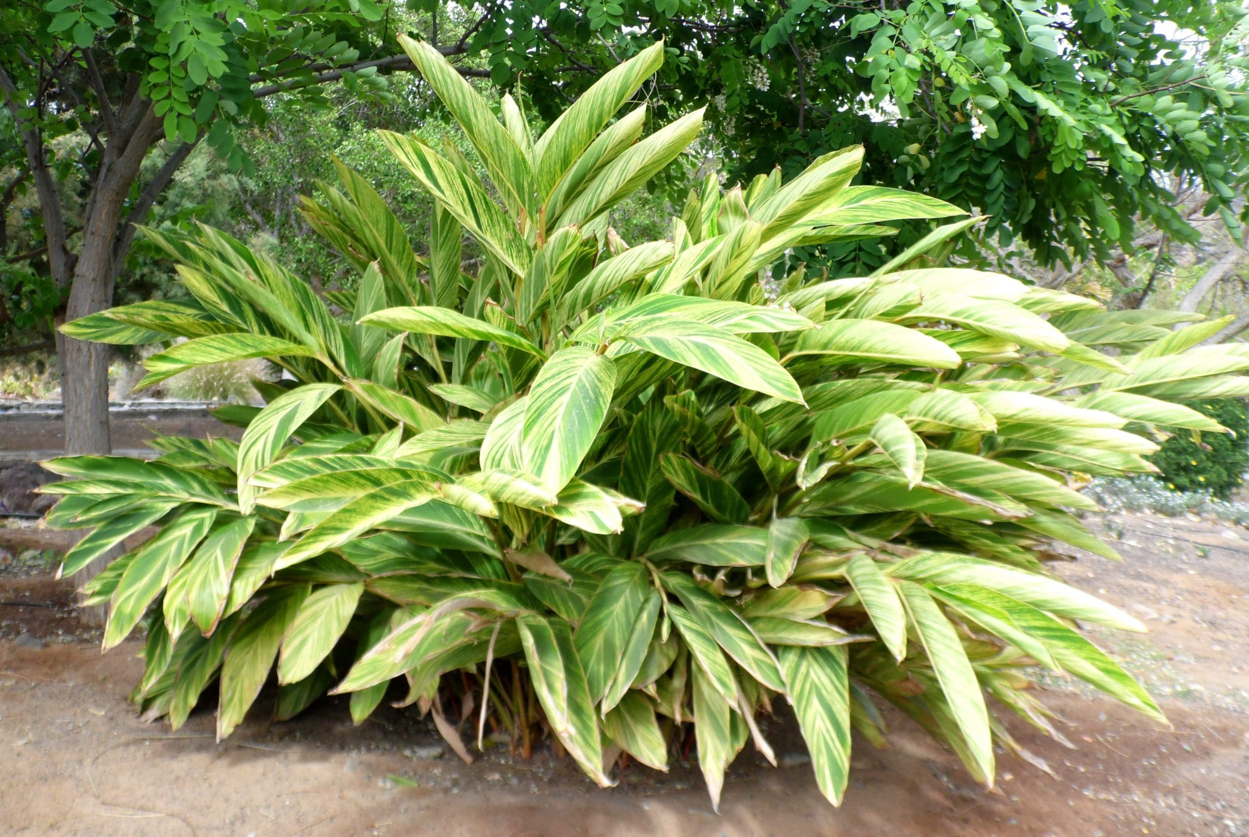 Alpinia zerumbet en jardín