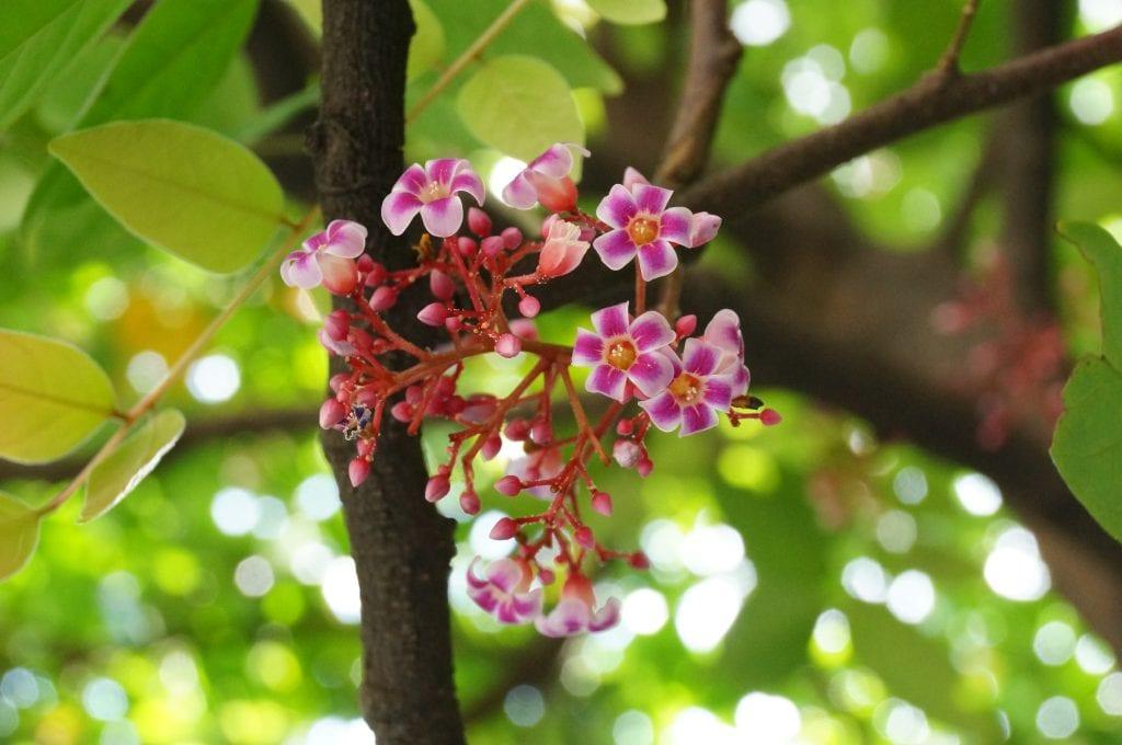 Flores de Averrhoa carambola