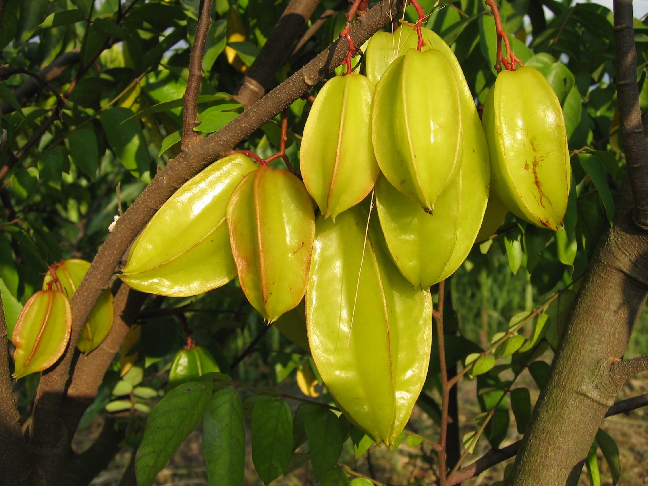 Carambola el rbol del fruto en forma de estrella for Arbol con raices y frutos