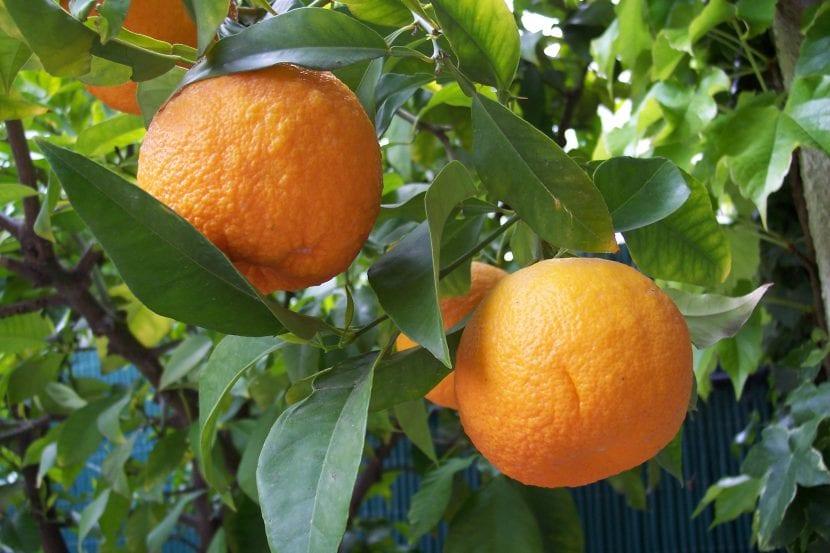 Citrus aurantium, el naranjo común