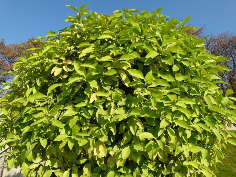 Árbol de Citrus aurantium, el naranjo amargo