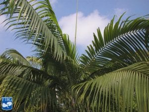 Hojas de la Dictyosperma