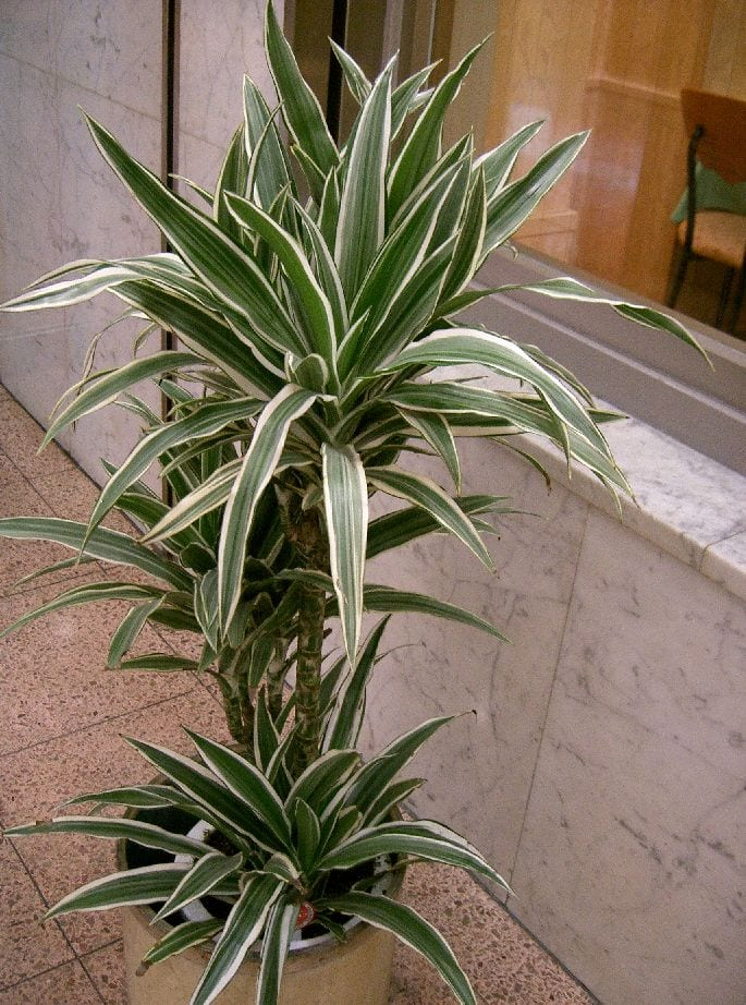 5 plantas de interior grandes Plantas de interior duras