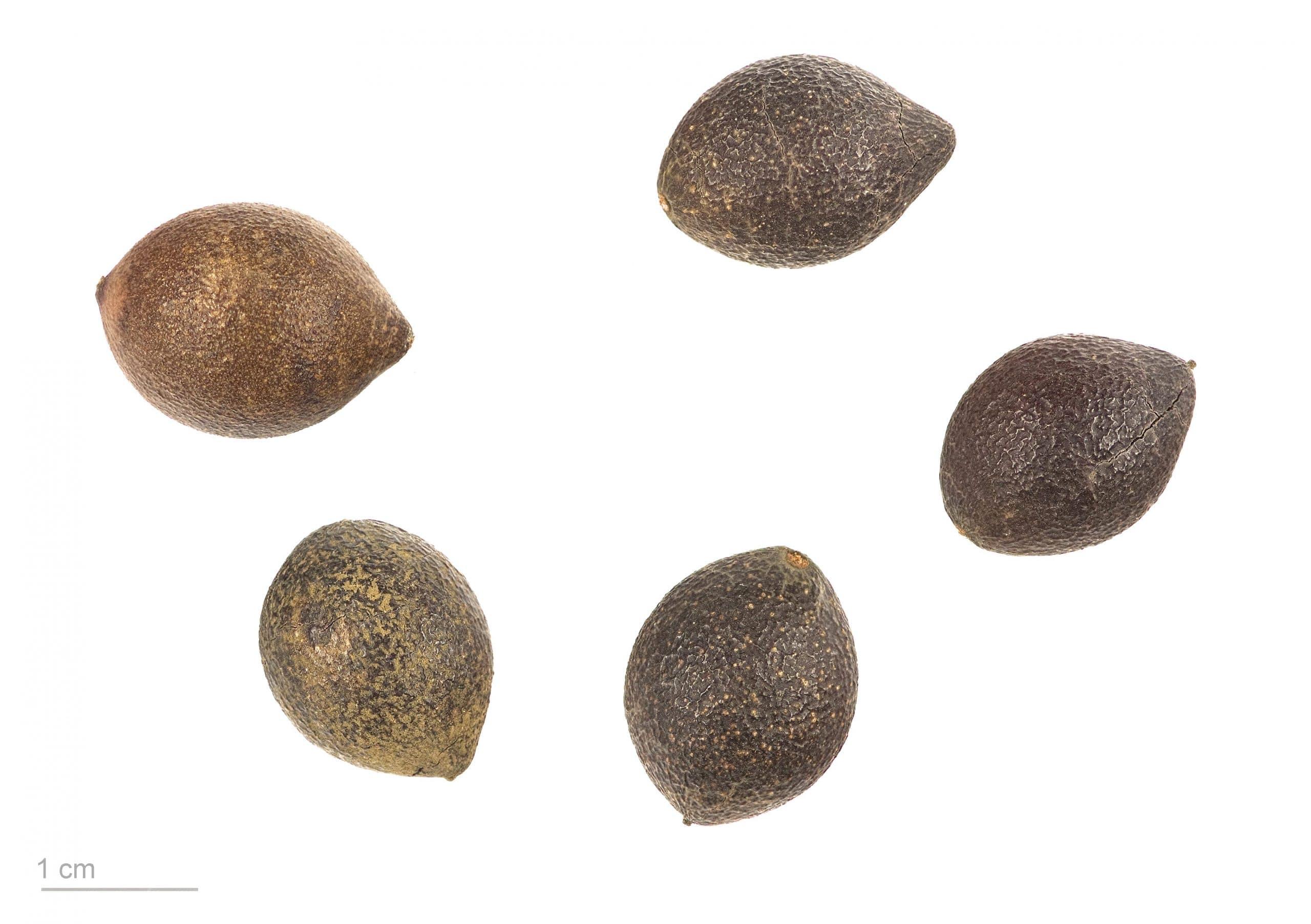 Semillas de avellano chileno