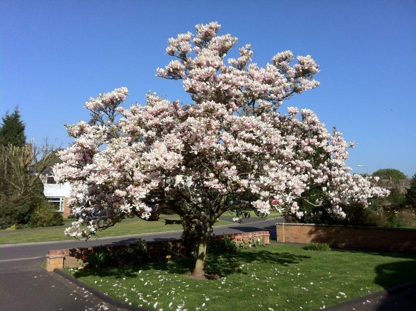 Magnolia x soulangeana, en plena floración.