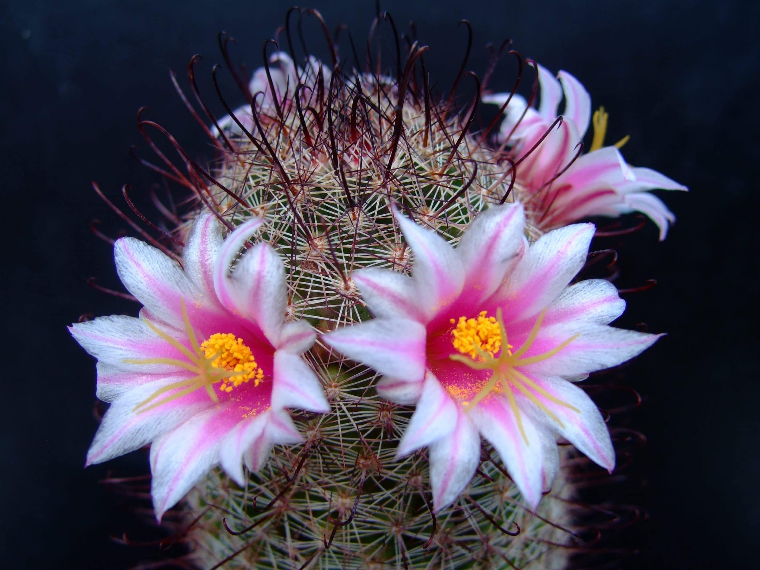 Los Mejores Cactus Con Flores Para Decorar El Patio