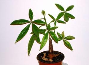 Pachira aquatica joven, una planta muy utilizada en interior