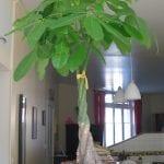 Pachira aquatica, una planta de interior muy interesante