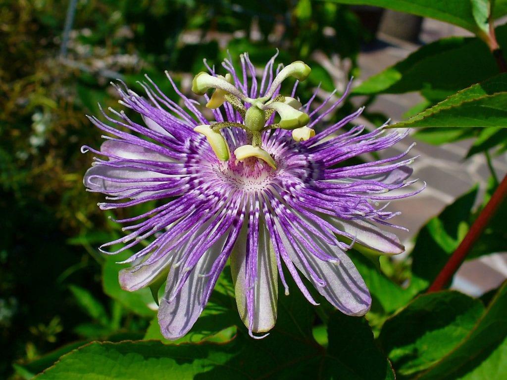 Passiflora incarnata