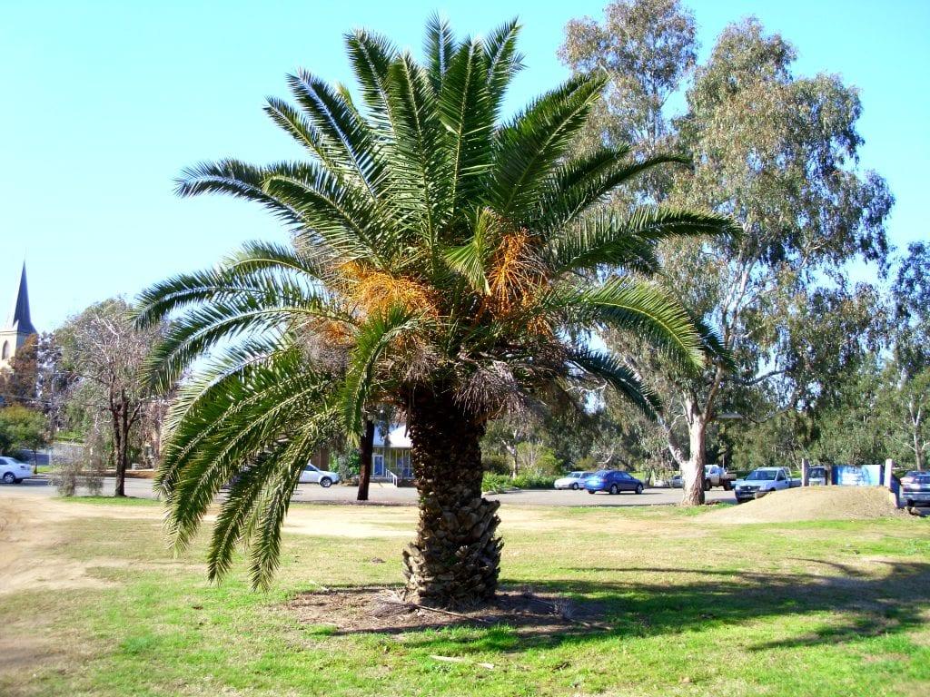 6 especies de palmeras phoenix para decorar tu jard n for Jardines con palmeras