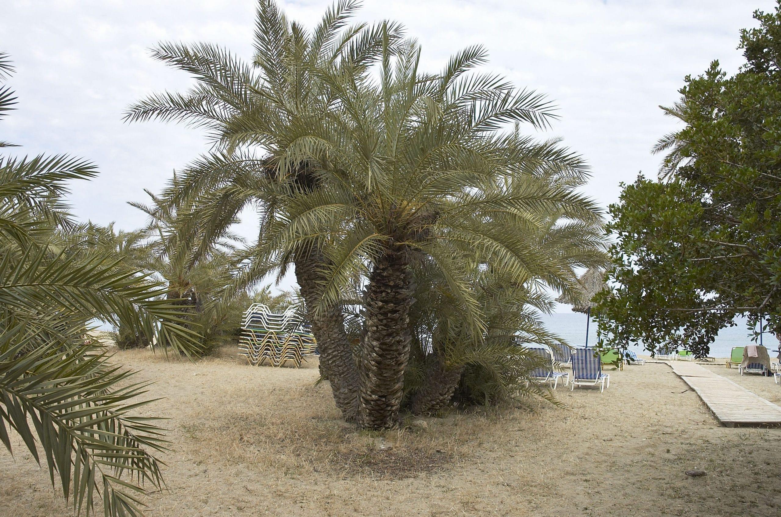 Phoenix theoprasti, una palmera de hojas pinnadas