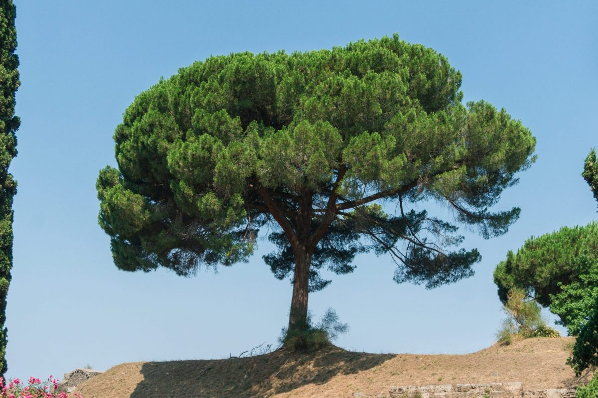 Pinus pinea, el pino piñonero