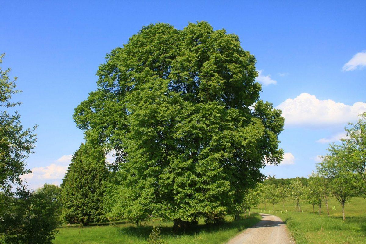 Tilia platyphyllos, un árbol grande