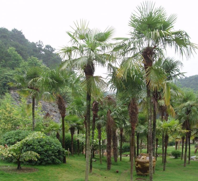 La palmera china se puede plantar en grupos