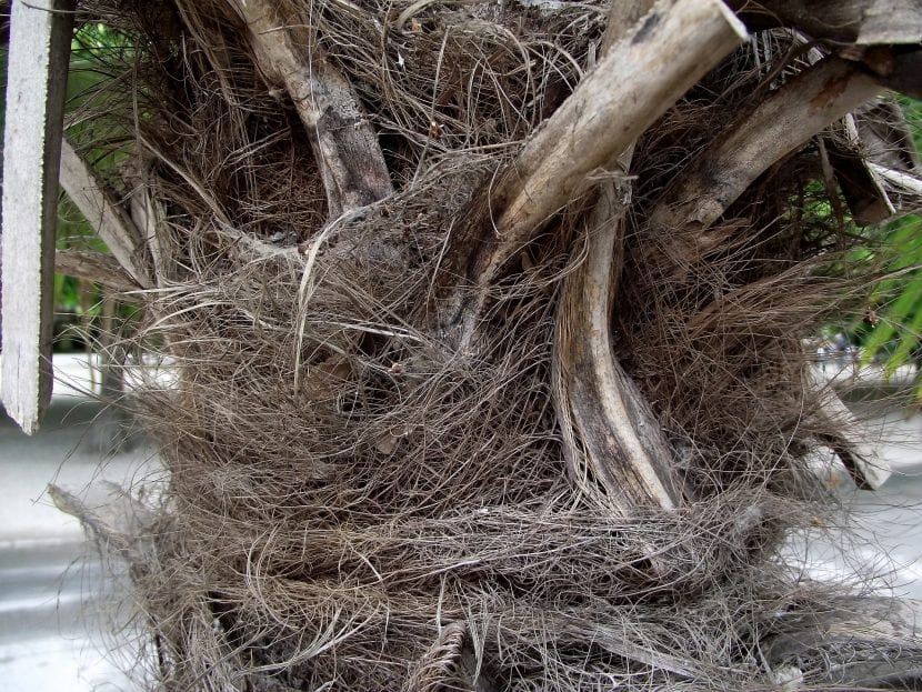 El tronco de la palmera china es delgado