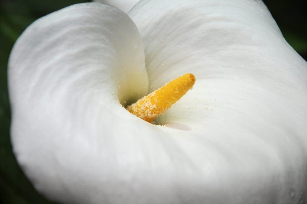 Flor de Cala