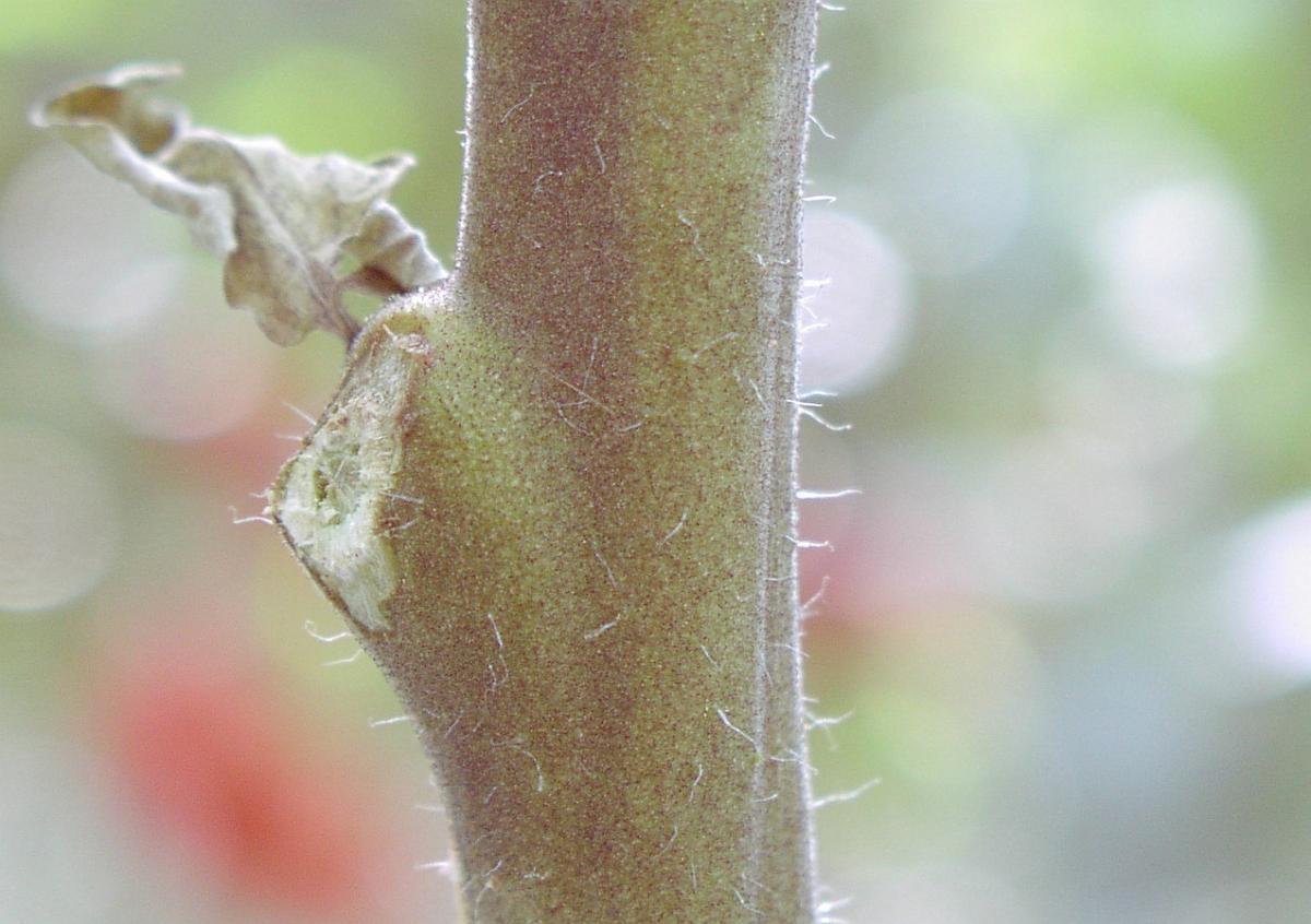 Daños del ácaro del tomate en un tallo