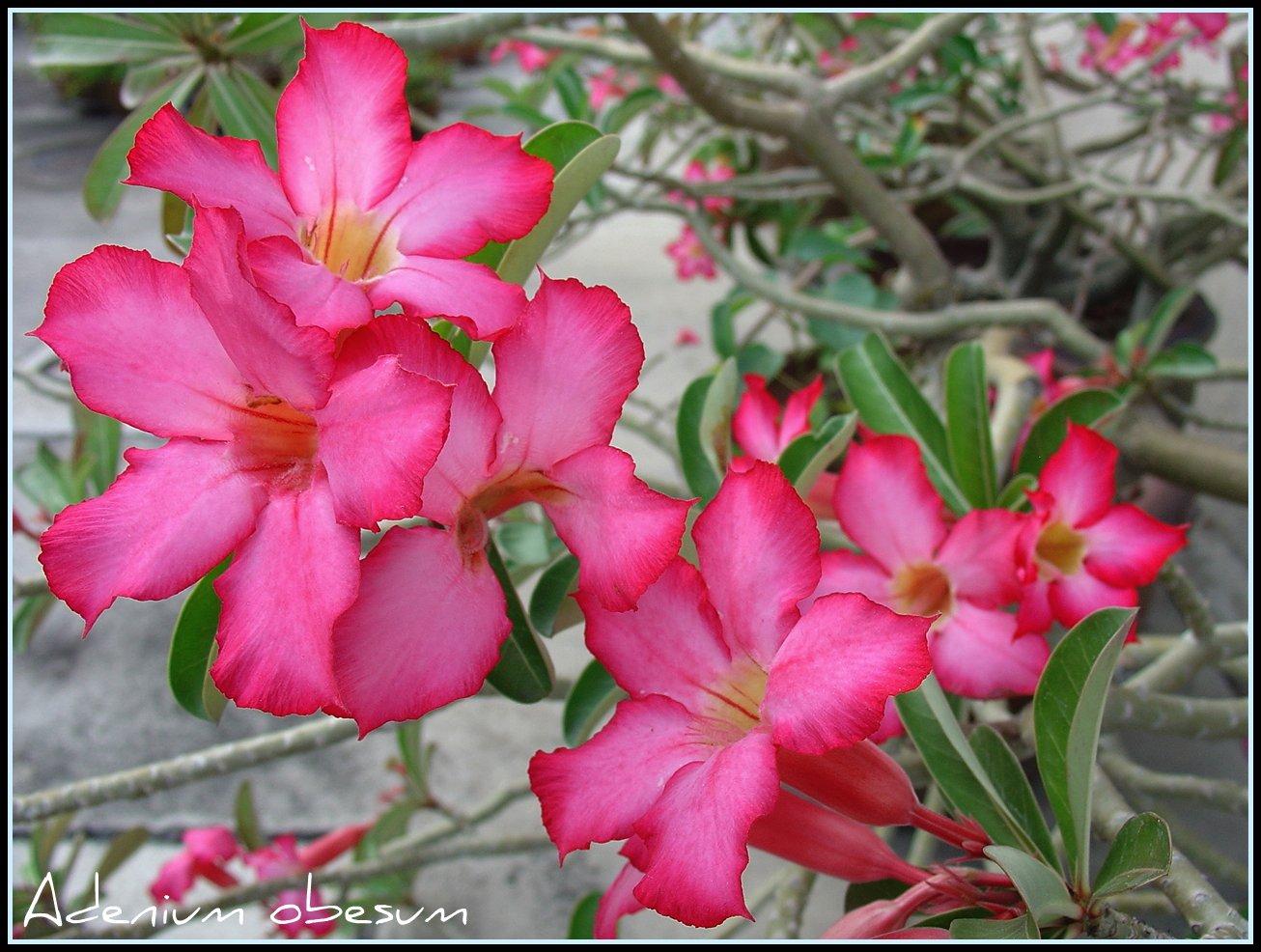 El Adenium obesum es una planta arbustiva