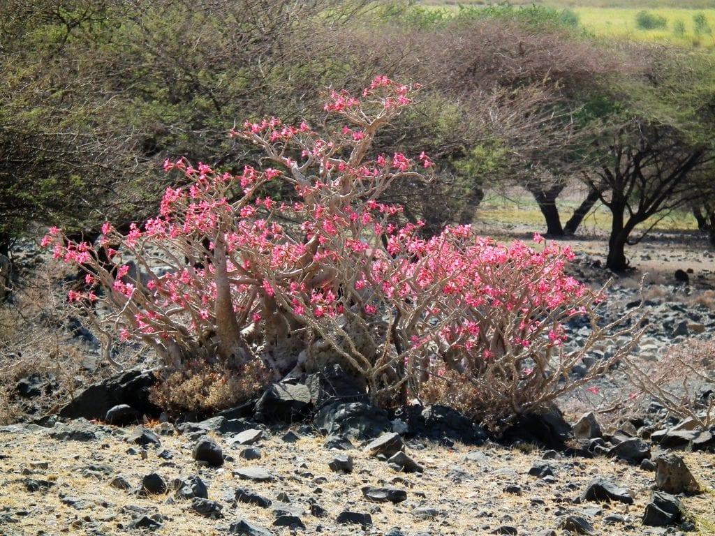 Adenium obesum en hábitat