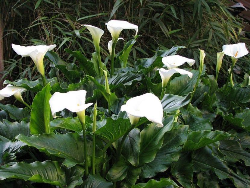 Calas, unas plantas amantes de la sombra