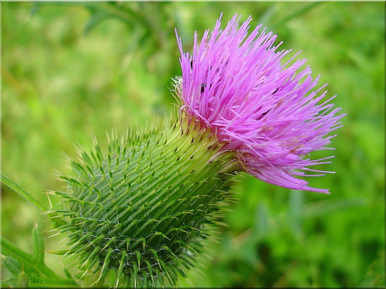 La flor del cardo es rosada
